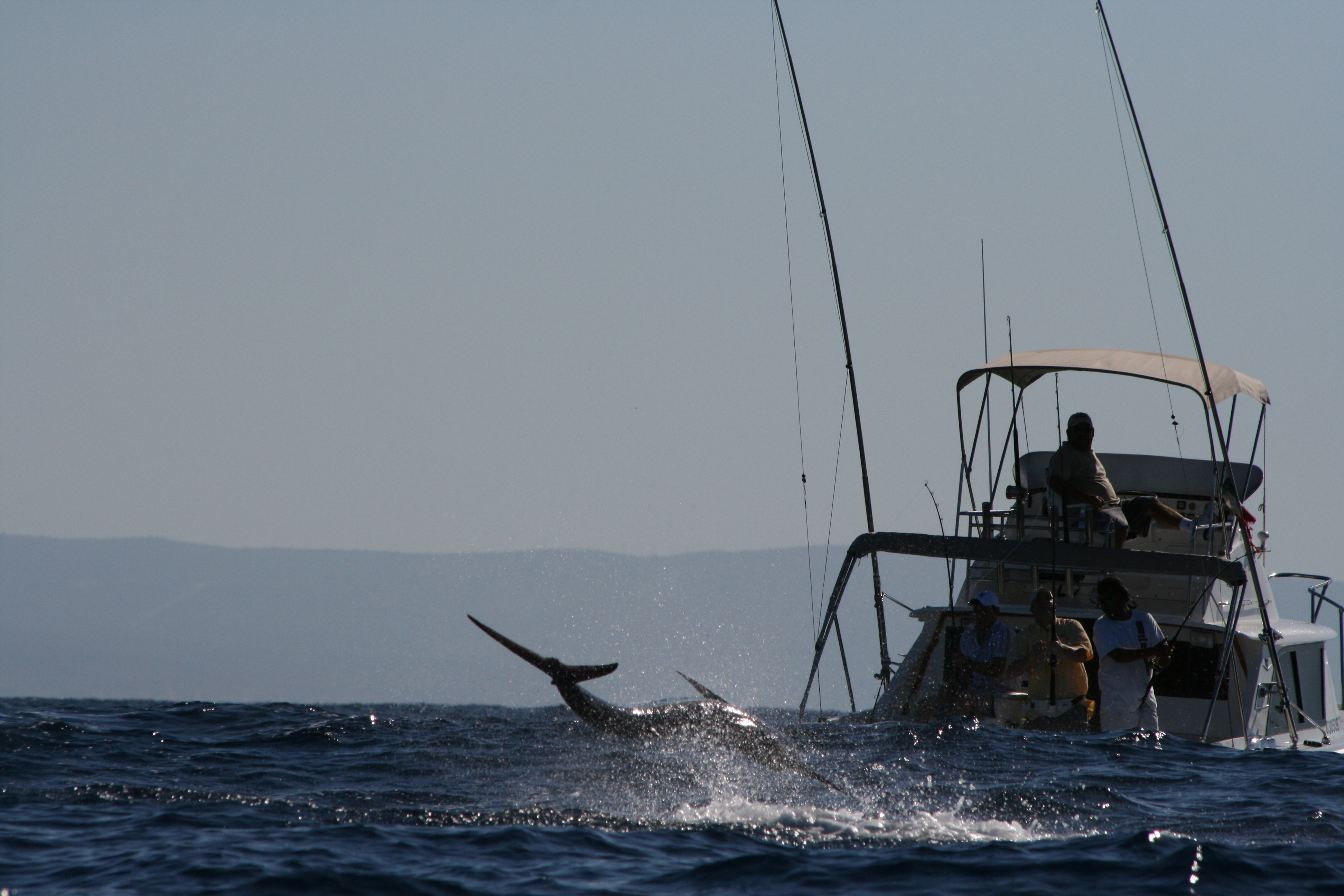Marlin at Golden Gate Cabo