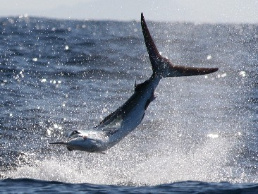 Striped marlin in Cabo