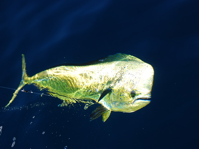 Dorado And Tuna Fishing In Cabo Itravel Cabo Com