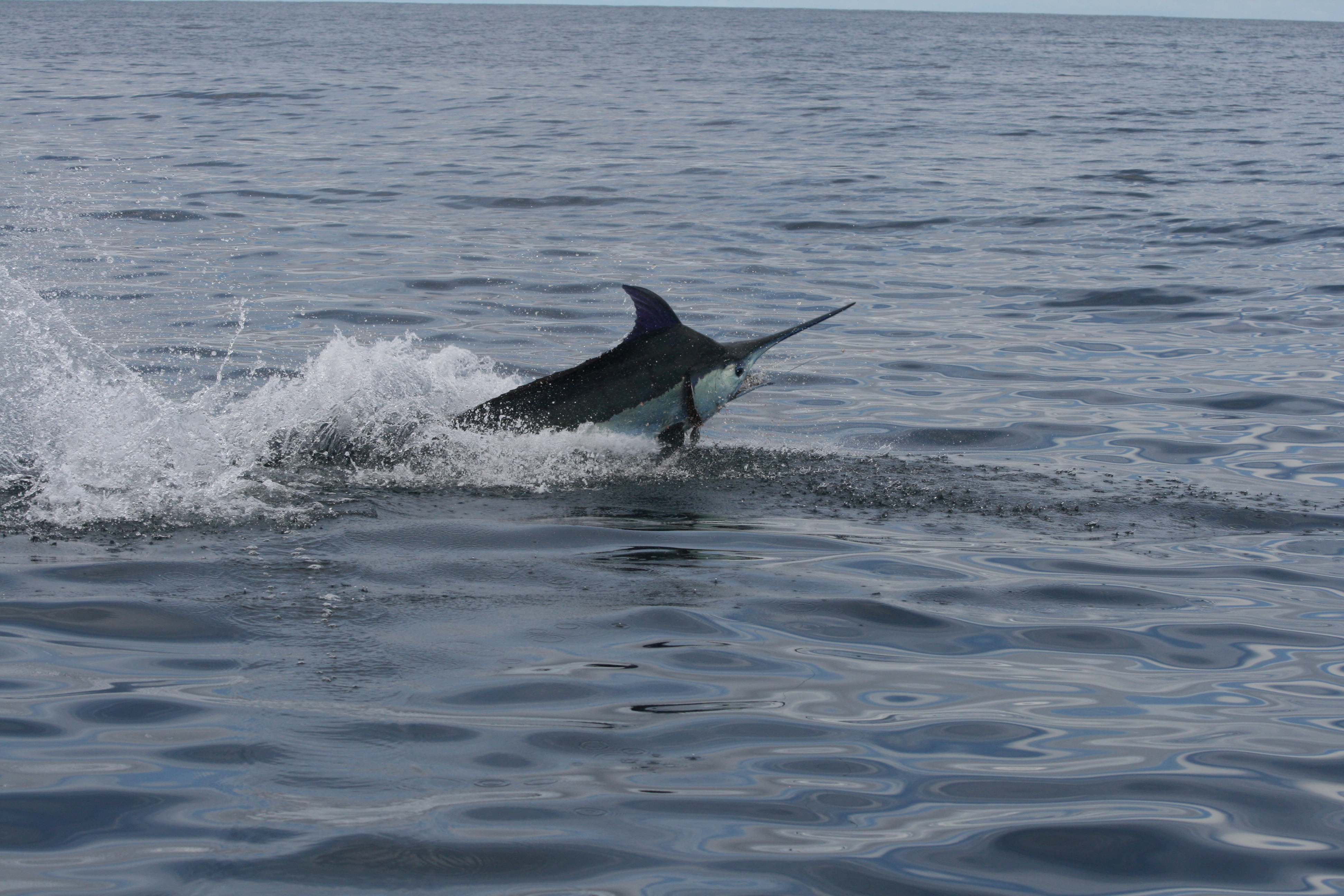Blue marlin in Cabo